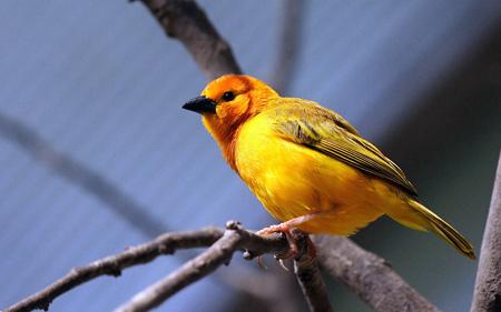 پرنده زرد زیبا روی شاخه درخت yellow bird branch