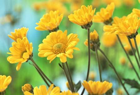 عکس گل بابونه زرد رنگ yellow 4k flower