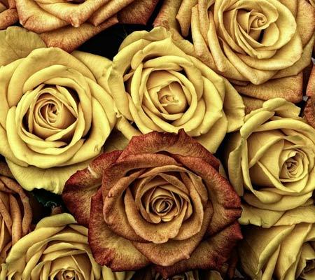 والپیپر گل های رز زرد زیبا yellow rose wallpaper