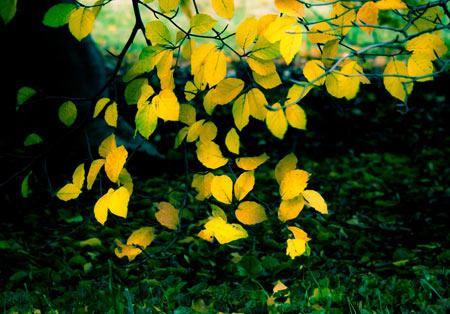 برگ های زرد پاییزی yellow autumn tree