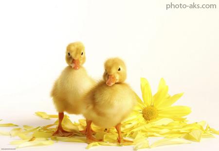 جوجه اردک های زرد بامزه yellow cute duck