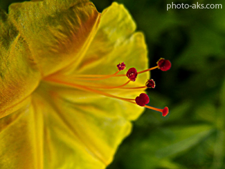 گل لاله عباسی زرد  yellow mirabilis jalapa
