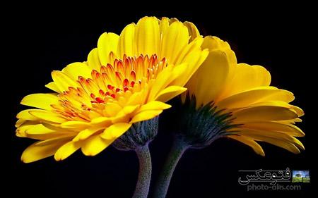 پوستر بزرگ گل های زرد yellow flowers wallpaper