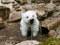 بچه خرس خوشگل سفید
