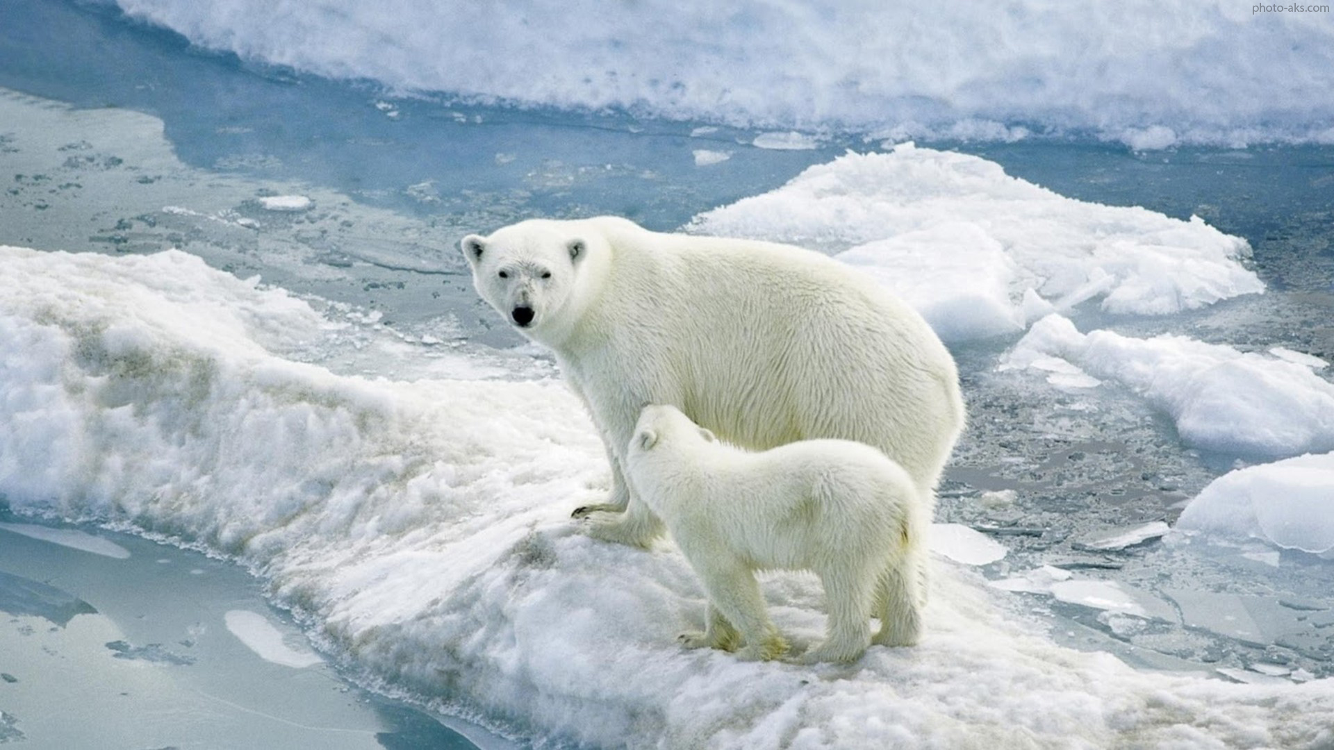 Ice Snow Animals Polar Bears Baby Animals 2560x1440 Wallpaper Download