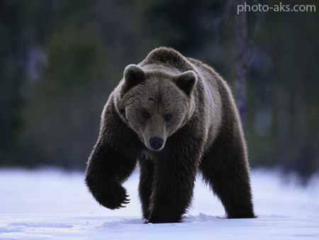خرس سیاه black bear