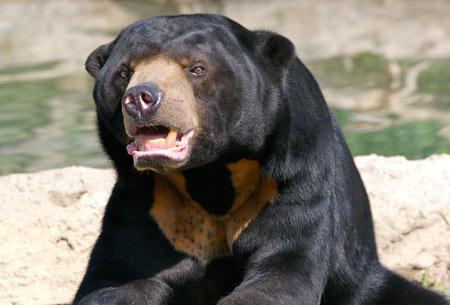 عکس خرس آفتاب sun bear