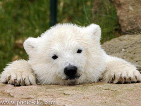 بچه خرس سفید ناز baby bear white