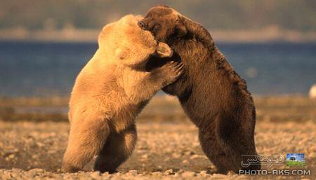 عکس درگیری و نبرد خرس ها bear fight wallpaper