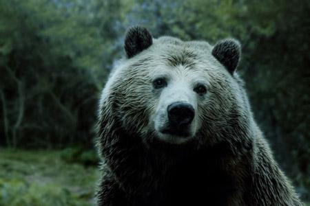 خرس بزرگ گریزلی bear animals