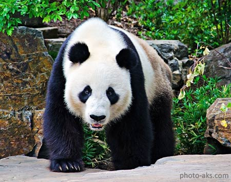 عکس خرس پاندا در جنگل panda bear walk