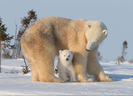 عکس محبت مادرانه حیوانات polar bear mother