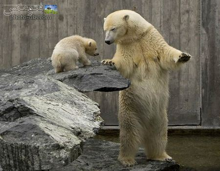 خرس قطبی در باغ وحش polar bear in zoo