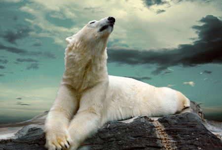 عکس خرس قطبی روی صخره polar bears rock