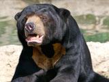 عکس خرس آفتاب