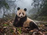 عکس خرس پاندا در جنگل