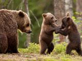 عکس دعوا بچه خرسها