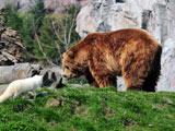 عکس خرس گریزلی و روباه سفید