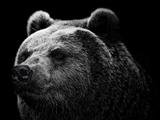 عکس خرس گریزلی