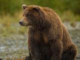 خرس قهوه ای گریزلی