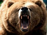 نعره خرس گریزلی