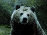 خرس بزرگ گریزلی