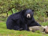 عکس خرس بزرگ سیاه در جنگل