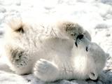 توله خرس بازمره