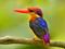 پرنده ماهی خورک کوچک