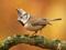 عکس پرنده کوچک کاکل دار