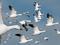 عکس پرواز غاز ها در آسمان