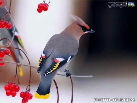 عکس پرنده زیبا aks parandeh ziba