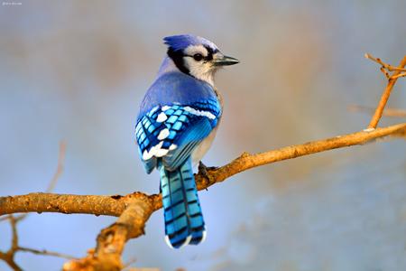 پرنده زیبای جیجاق کبود blue jay on branch