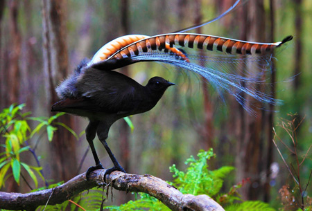 عکس مرغ چنگ superb lyrebird wallpaper
