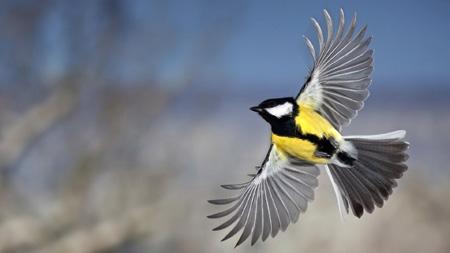 پرواز پرنده سینه لیمویی tomtit bird fly
