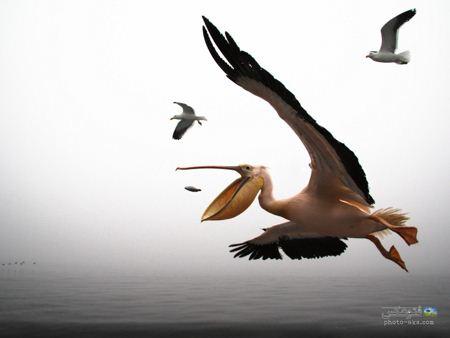 عکس پلیکان در حال شکار pelican in flying