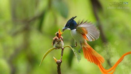 مرغ مگس خوار آسیایی asian flycatcher bird
