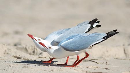 عکس پرنده مرغ نوروی birds gull wallpaper