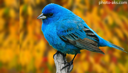پرنده آبی blue bird wallpaper