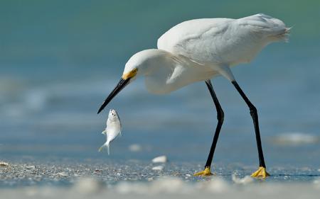 مرغ ماهی خوار حواصیل سفید heron fish poultry beach
