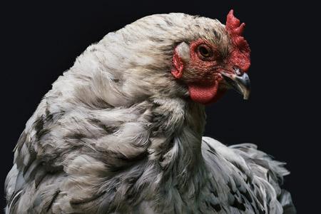 عکس نمای نزدیک مرغ و خروس chicken closeup