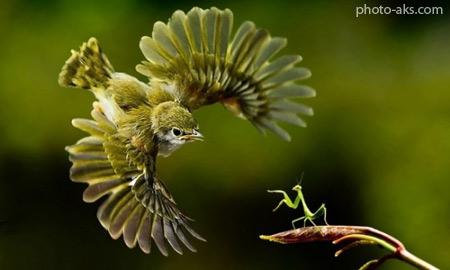 پرنده در حال شکار حشره shekar parade