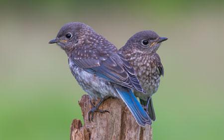 عکس دو پرنده آبی زیبا کمیاب two blue birds