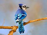 پرنده زیبای جیجاق کبود