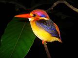 پرنده زیبا ماهی خوار رنگارنگ