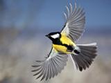 پرواز پرنده سینه لیمویی