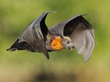 عکس پرواز خفاش شب در آسمان