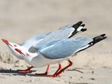 عکس پرنده مرغ نوروی