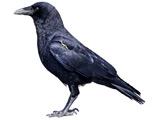 عکس پرنده کلاغ سیاه