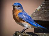 پرنده آبی شرقی